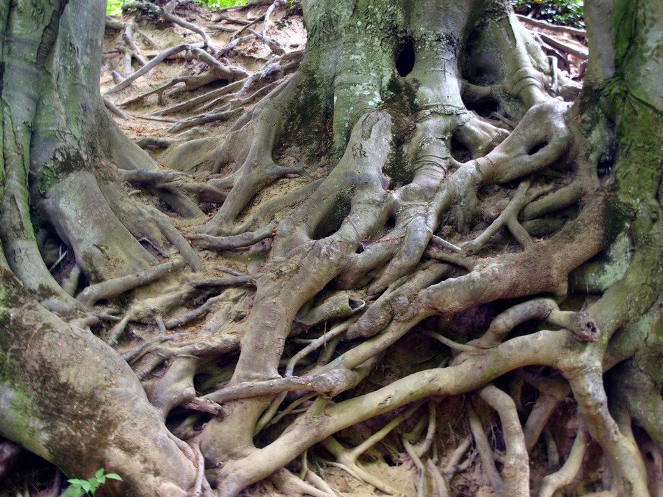 natural tree roots