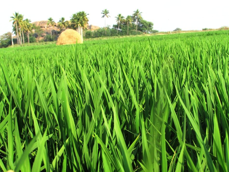 green field of grain crops
