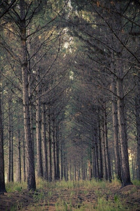 gloomy forest with straight rows of trees