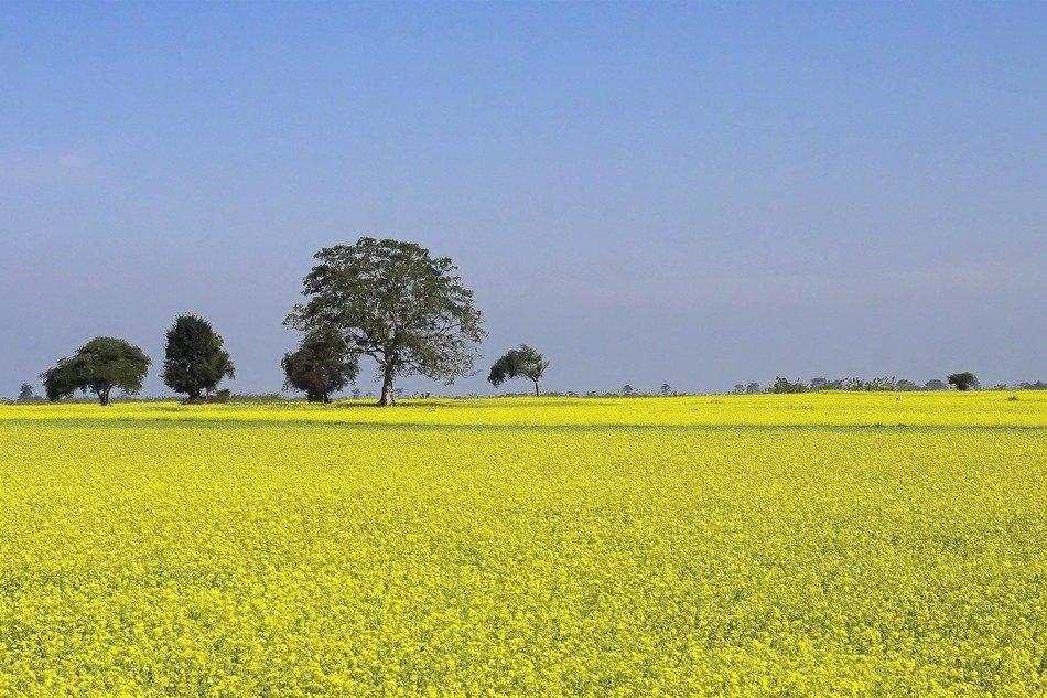 agricultural field of mustard