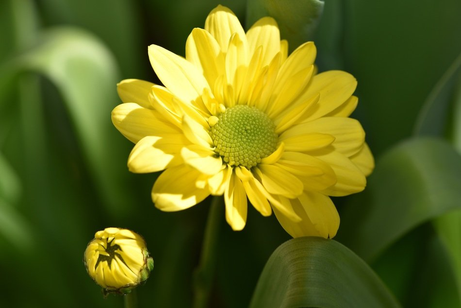 yellow daisy flower plant flowers