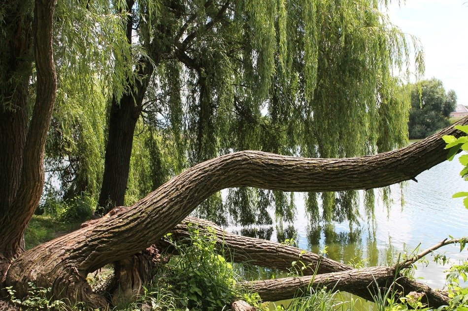 green branches of willow over water