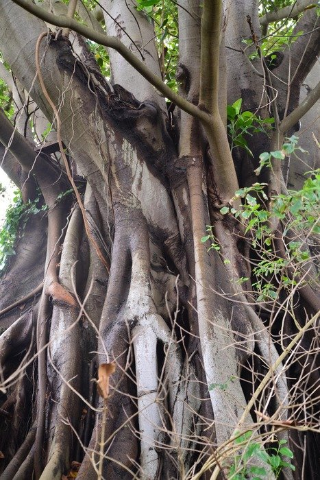 fig tree with roots