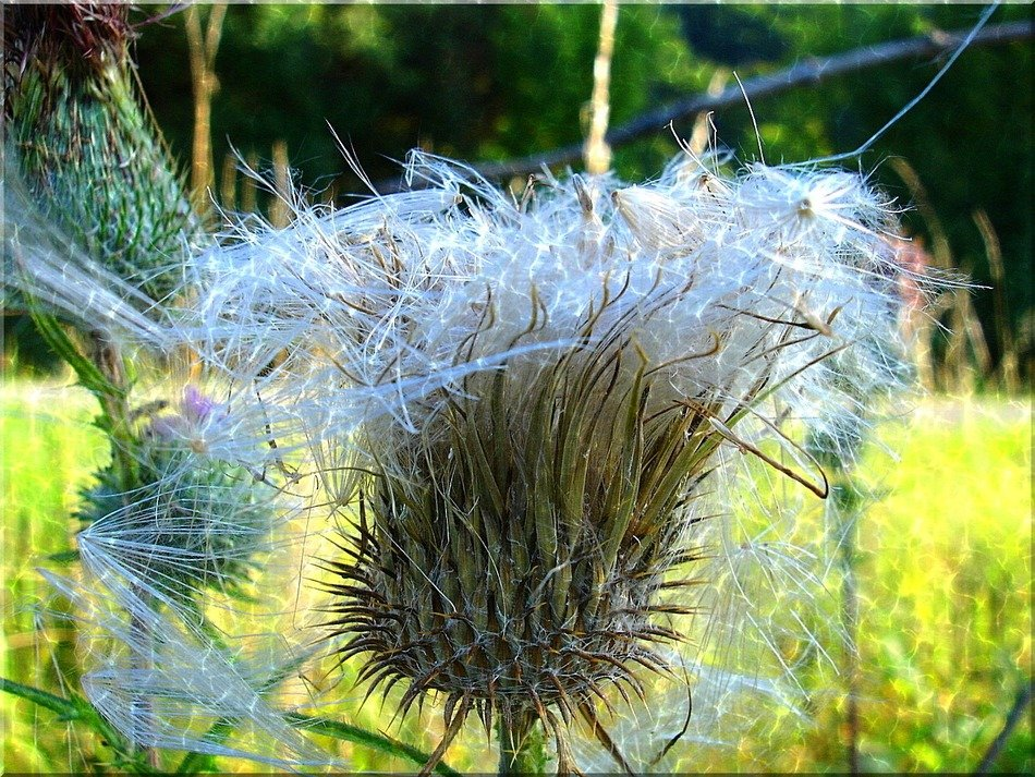 fluffy thistle close-up