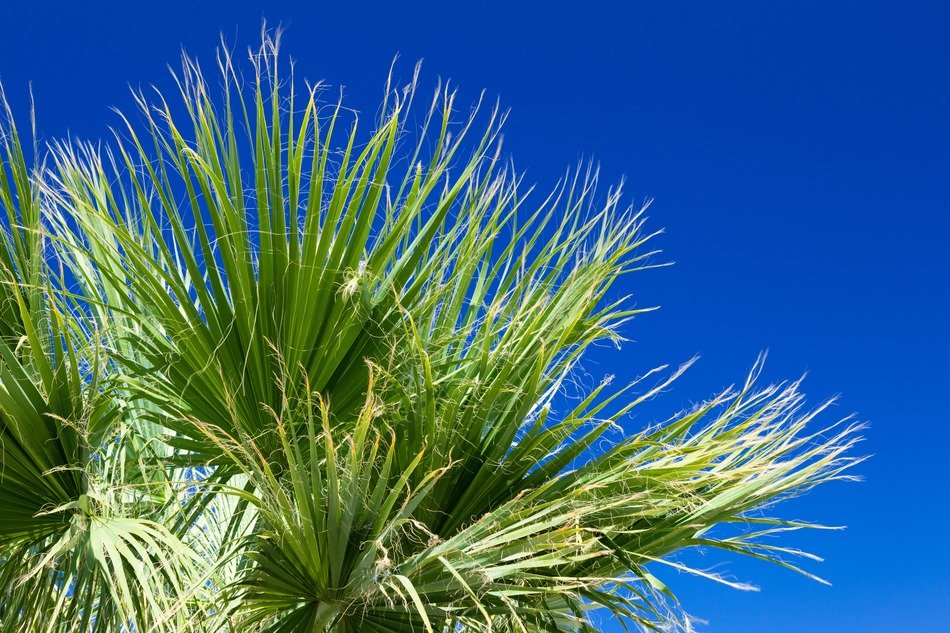 green palm tree foliage