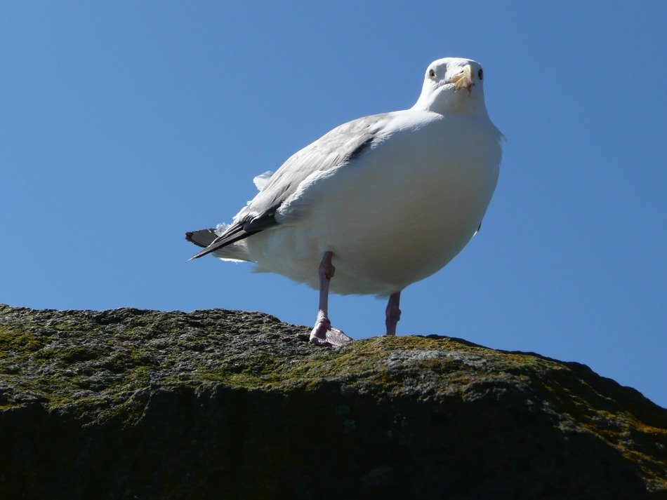 Pacific seagull on a big stone close up