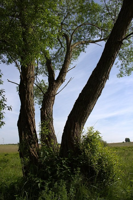 three green trees in a pasture