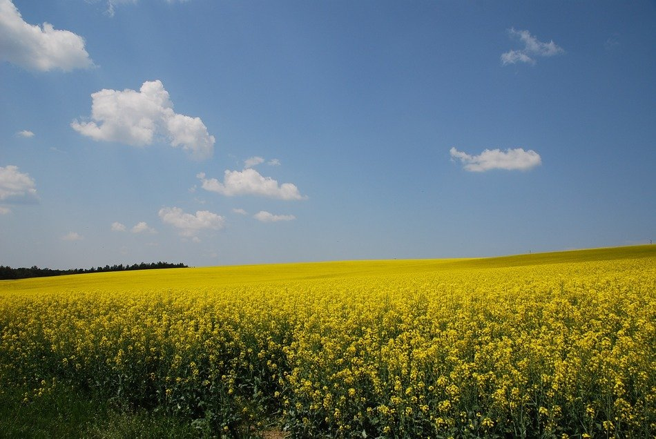 yellow nature Rapeseed field