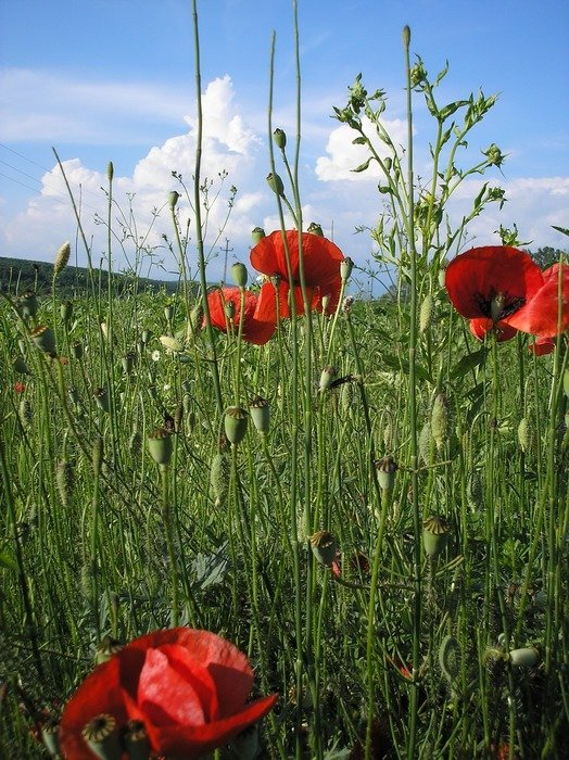 red poppies in grassland