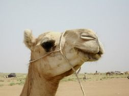 camel niger nature