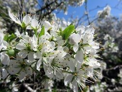 A lot of the cherry flowers blossom in spring