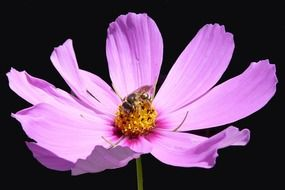 flower macro nature cosmos pink