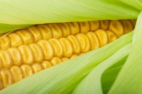 close up grain corn plant