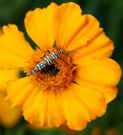ailanthus webworm moth on a yellow flower close-up