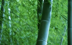 green bamboo trunks in the forest