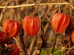 physalis, Cape gooseberry, ripe seed heads