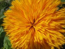 yellow fluffy flower close-up