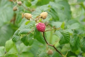 raspberries on a bush