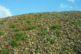 poppies in a gravel pit