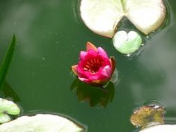 bright purple water lily in a pond