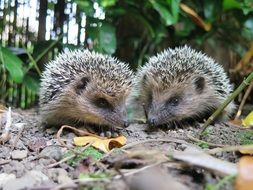 two hedgehogs in the garden
