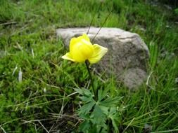 bright yellow flower on the grass near the stone