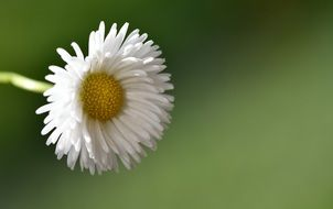 daisy pointed flower
