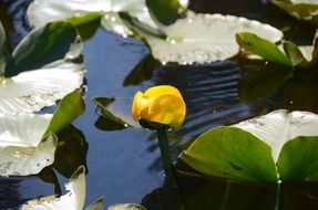 yellow bud of a water lily on a pond
