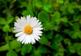 white daisy in spring