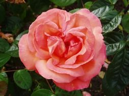 Beautiful rose flower is blooming in the garden