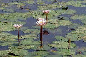 Photo of water lilies in a pond