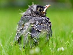 red robin bird nestling feathered nature