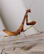 praying mantis, back view of brown insect