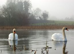 two swans in a pond in winter