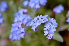 impressive forget me not flower