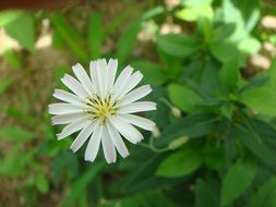 white flower with pointed petals close-up