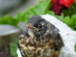 red robin chick
