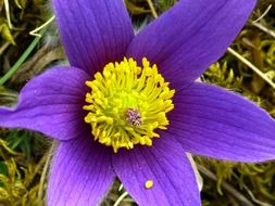 blue pasque flower