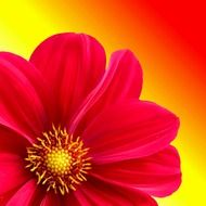 bright pink dahlia on a yellow background