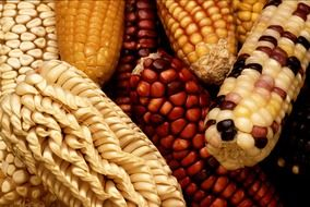 different types of corn