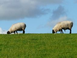 two sheep on a pasture on the North Sea