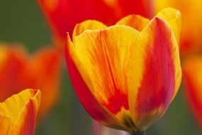 yellow red tulips in spring