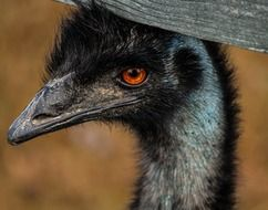 Picture of the emu large bird