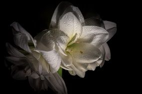 white amaryllis flower closed