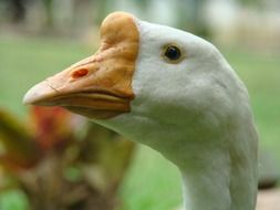 white goose head with beak