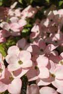 pink dogwood flowers in summer