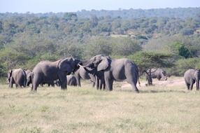Elephants in the wild nature of the South Africa