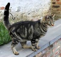 cat tabby on the parapet