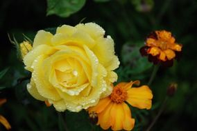 yellow rose blossom in water drops