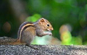 squirrel animal wildlife mawanella